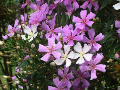quaresmeira-tibouchina-sellowiana-fam-melastomataceae